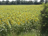 Sunflowers in August in field by Le Muguet